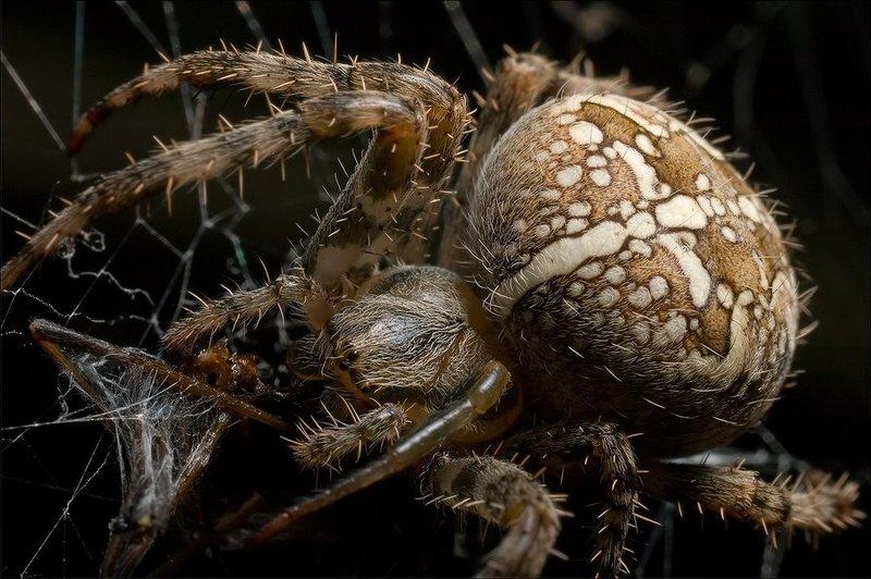 сколько яиц откладывает паук-крестовик элегантный, дорогой вообще