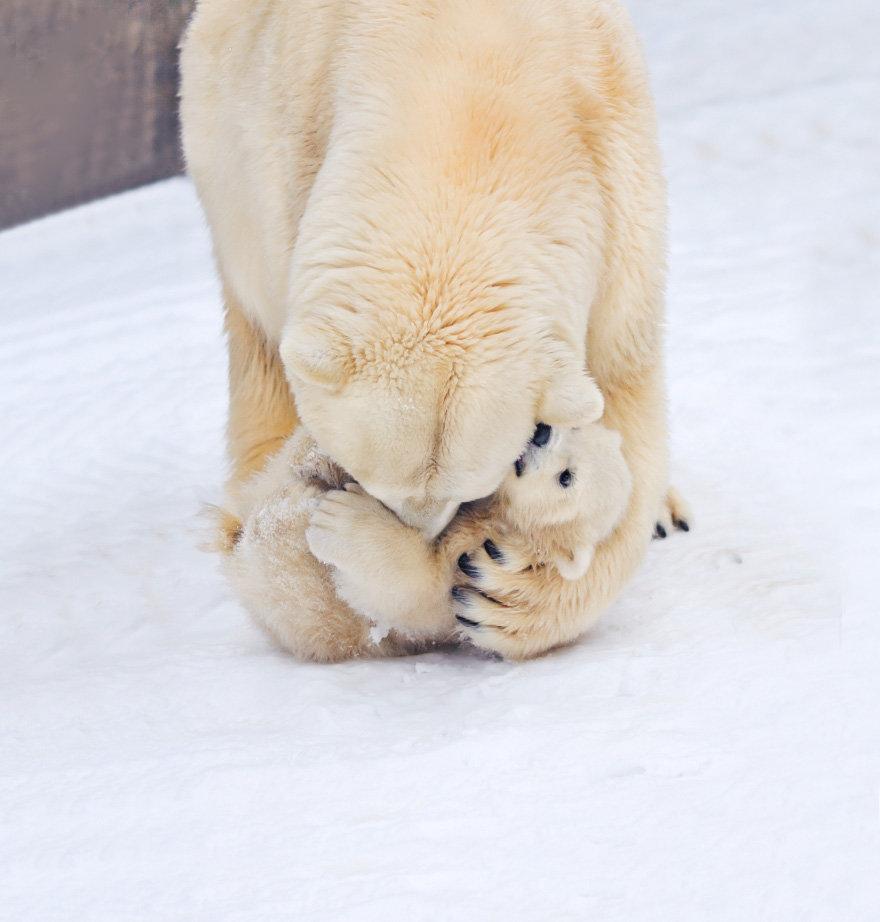 Белый медведь был занесён в Красную Книгу России. Медленное размножение и большая смертность молодняка делают этого зверя легко уязвимым