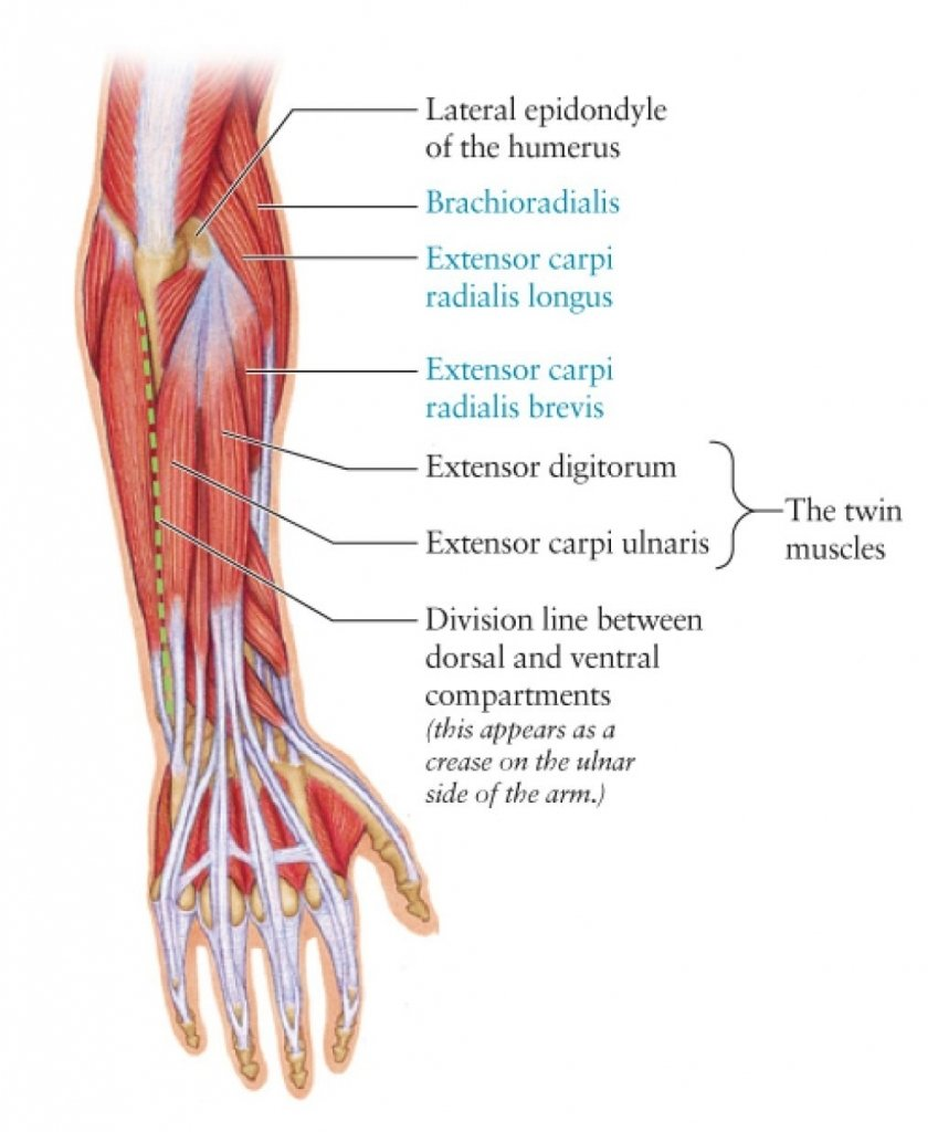 arm muscle anatomy diagram