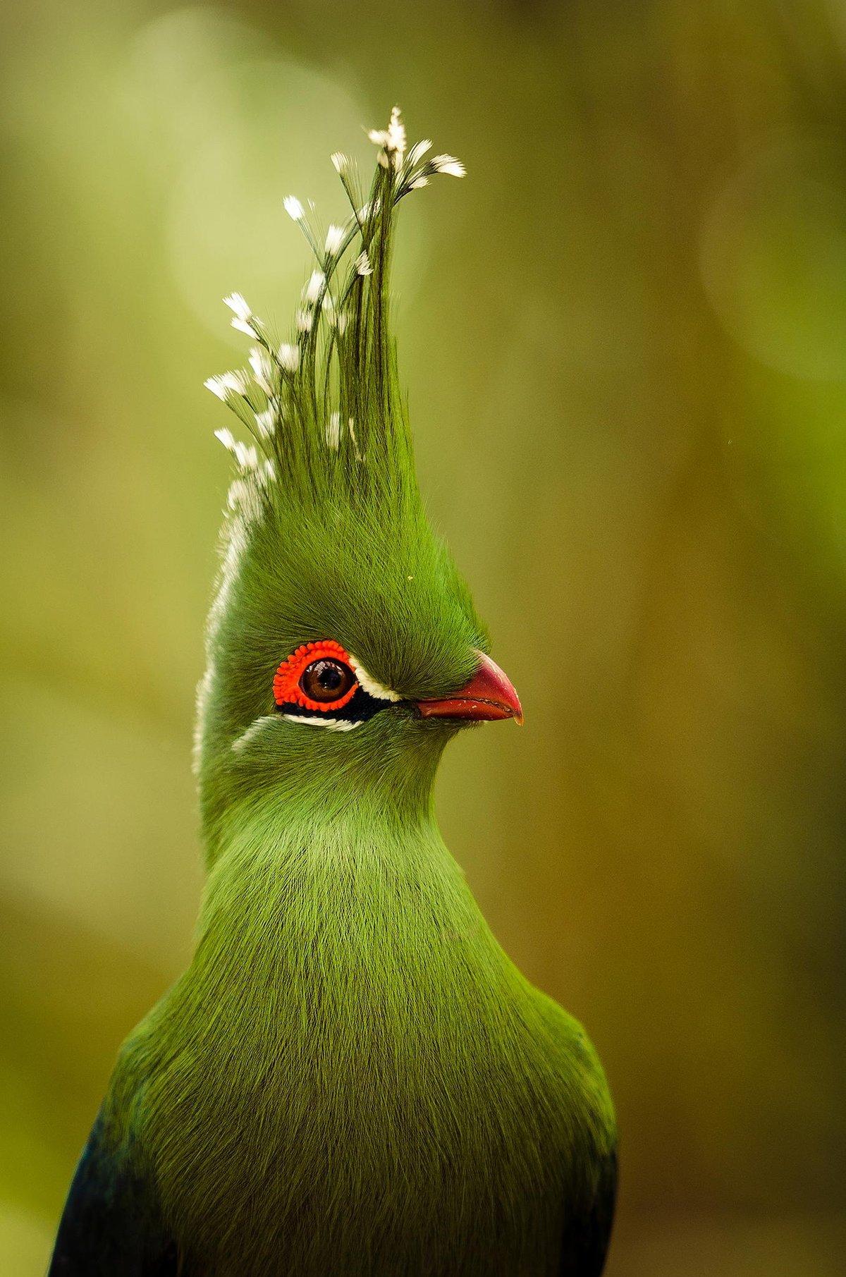 چسب پرنده Sandwich Tern
