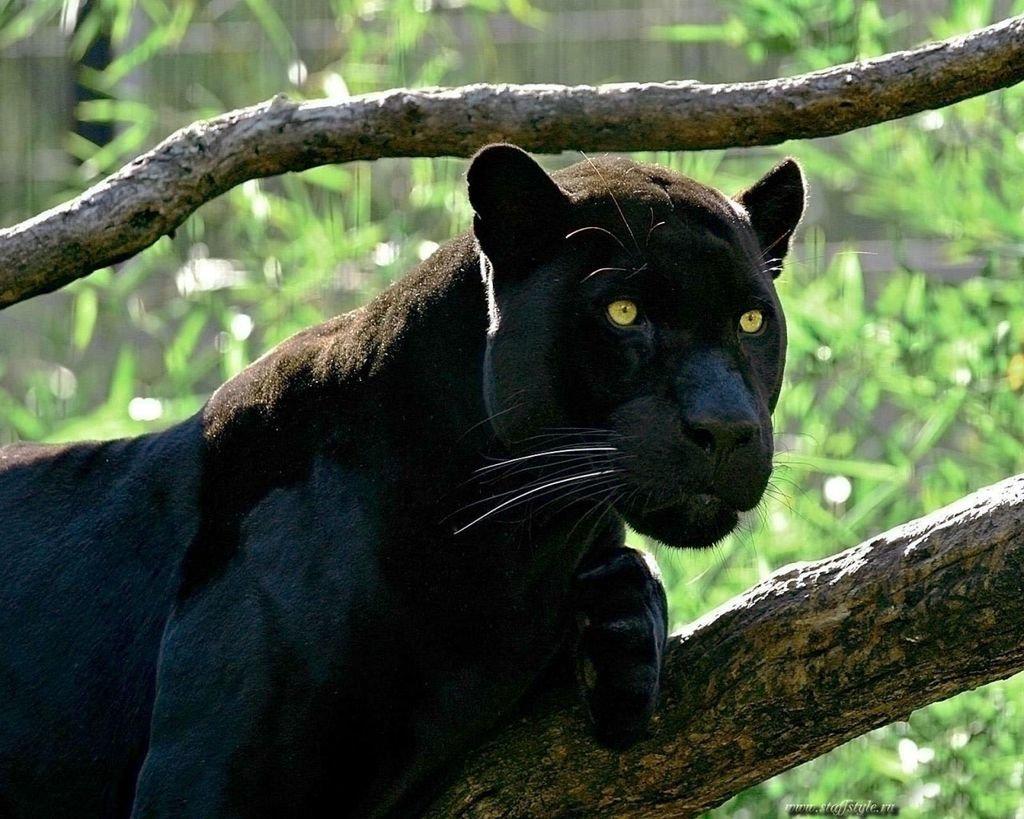 Открыток новым, картинки с черной пантерой в джунглях
