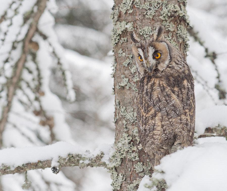 или картинки совы зимой в лесу вида птенца королевского