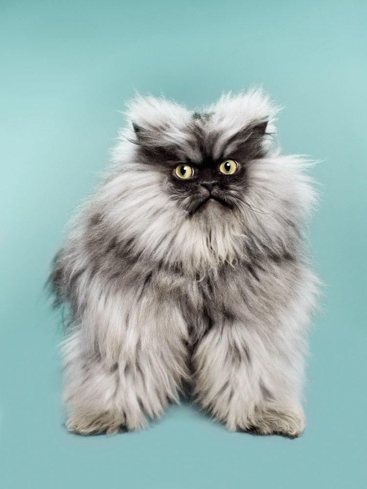 картинки самые пушистые кошки всего немного темнее