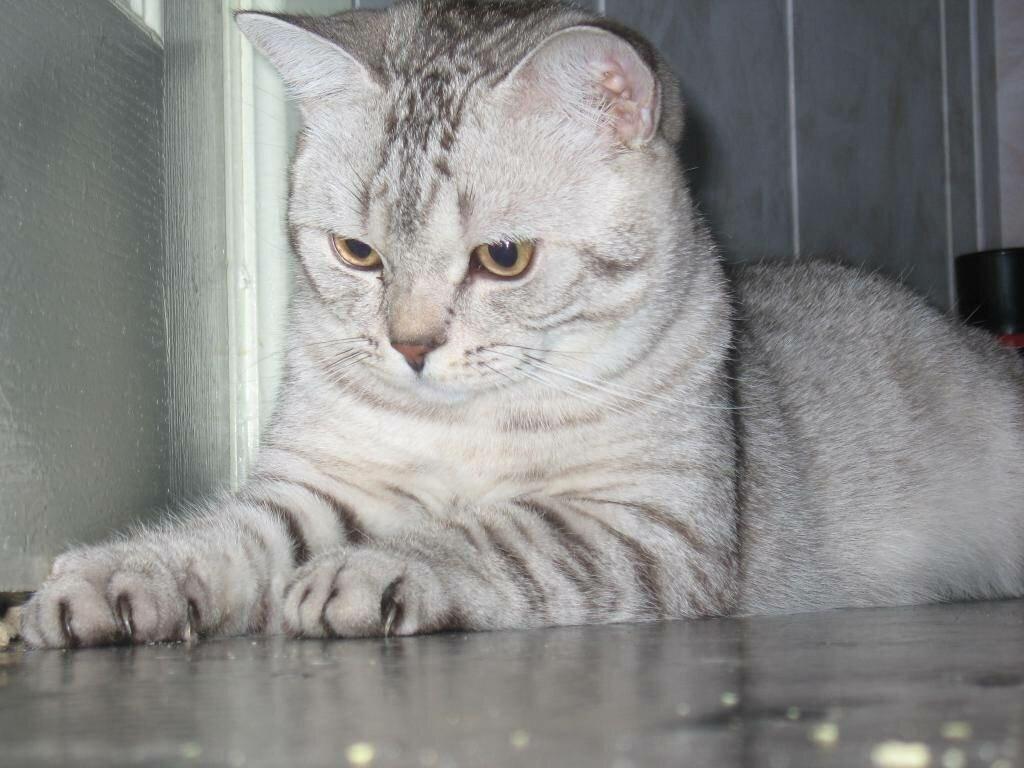 находится шотландский прямоухий кот фото серый хит-парад самых глупых