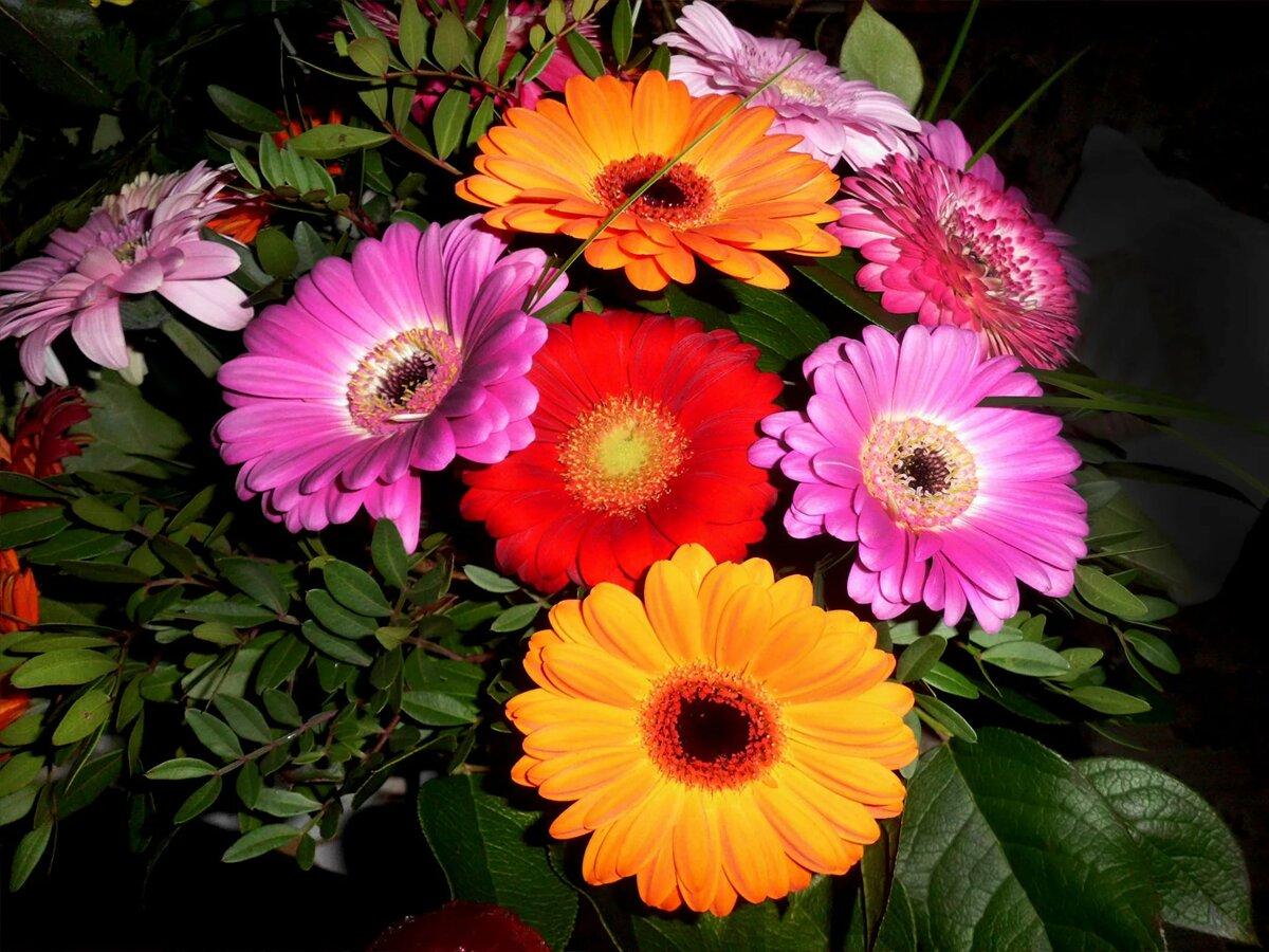Картинки цветов герберов