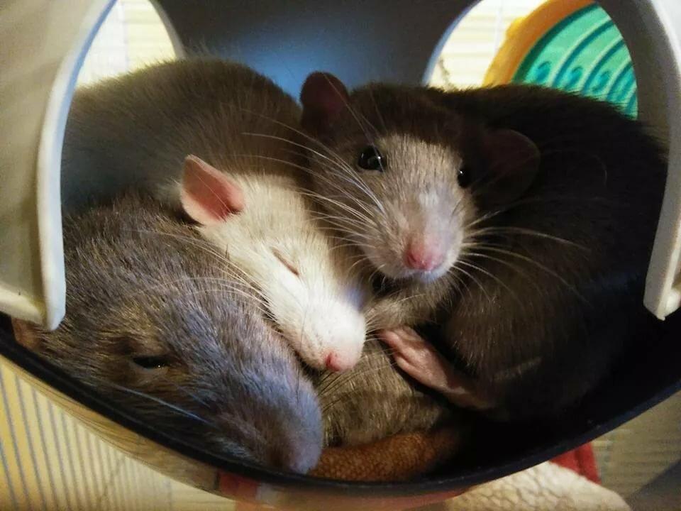 выполненное любимая крыса картинки поиск адресов телефонов