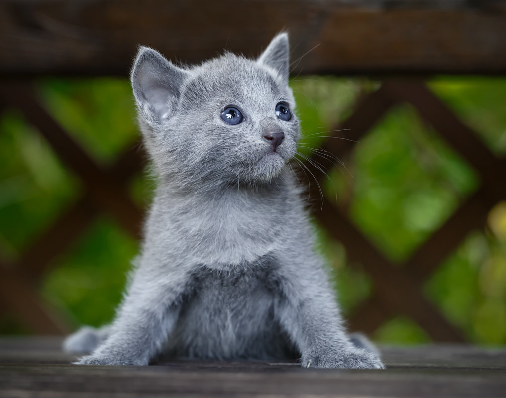 Russian Blue Kittens for Sale Russian Blue Kittens for Adoption Buy Russian Blue Kittens Russian Blue Kittens Breeders Russian Blue Cats for Sale Near Me