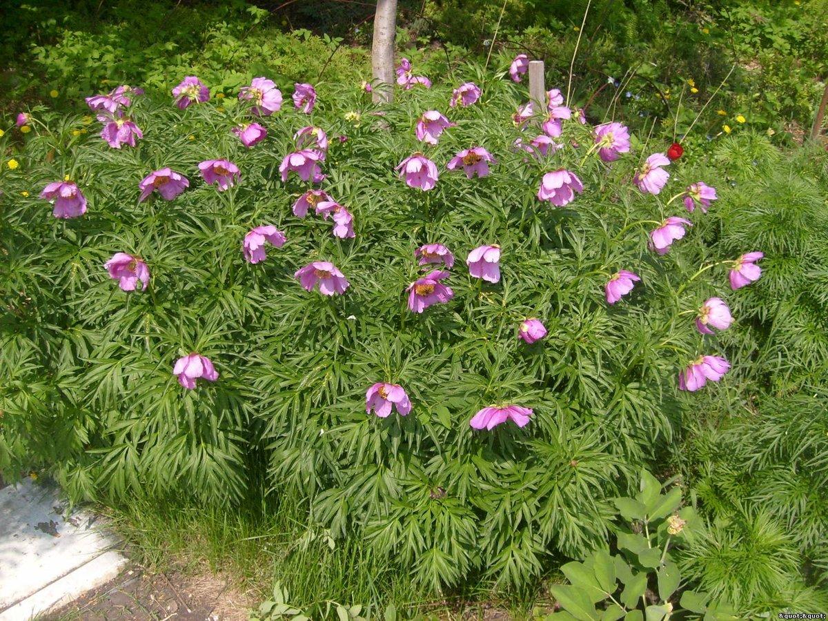 май цветы марьины коренья фото зрачков очень