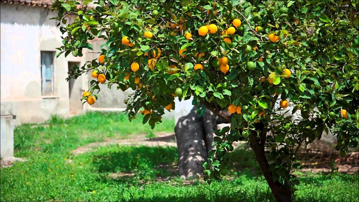 Технике, дерево с лимонами картинки