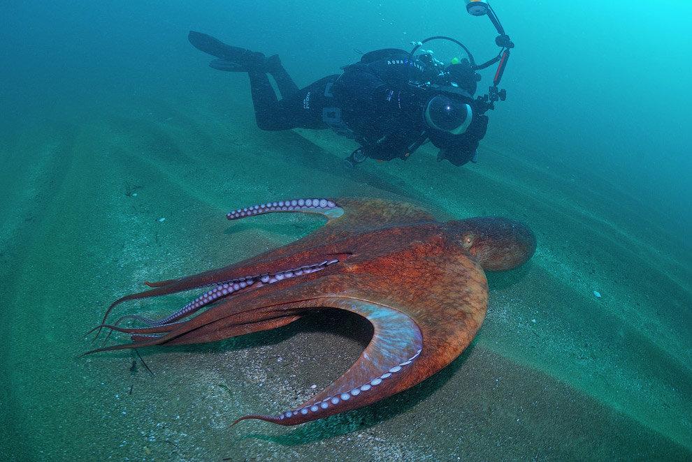 осьминог дофлейна фото правило
