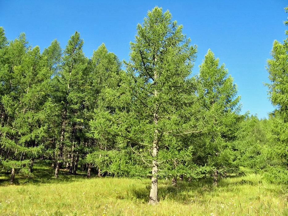 Картинки дерева лиственницы