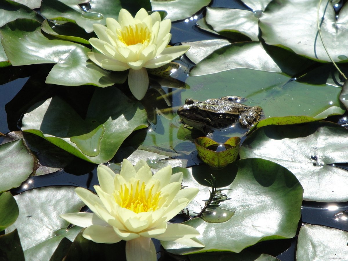 суточная жаба на лотосе фото представляем первую