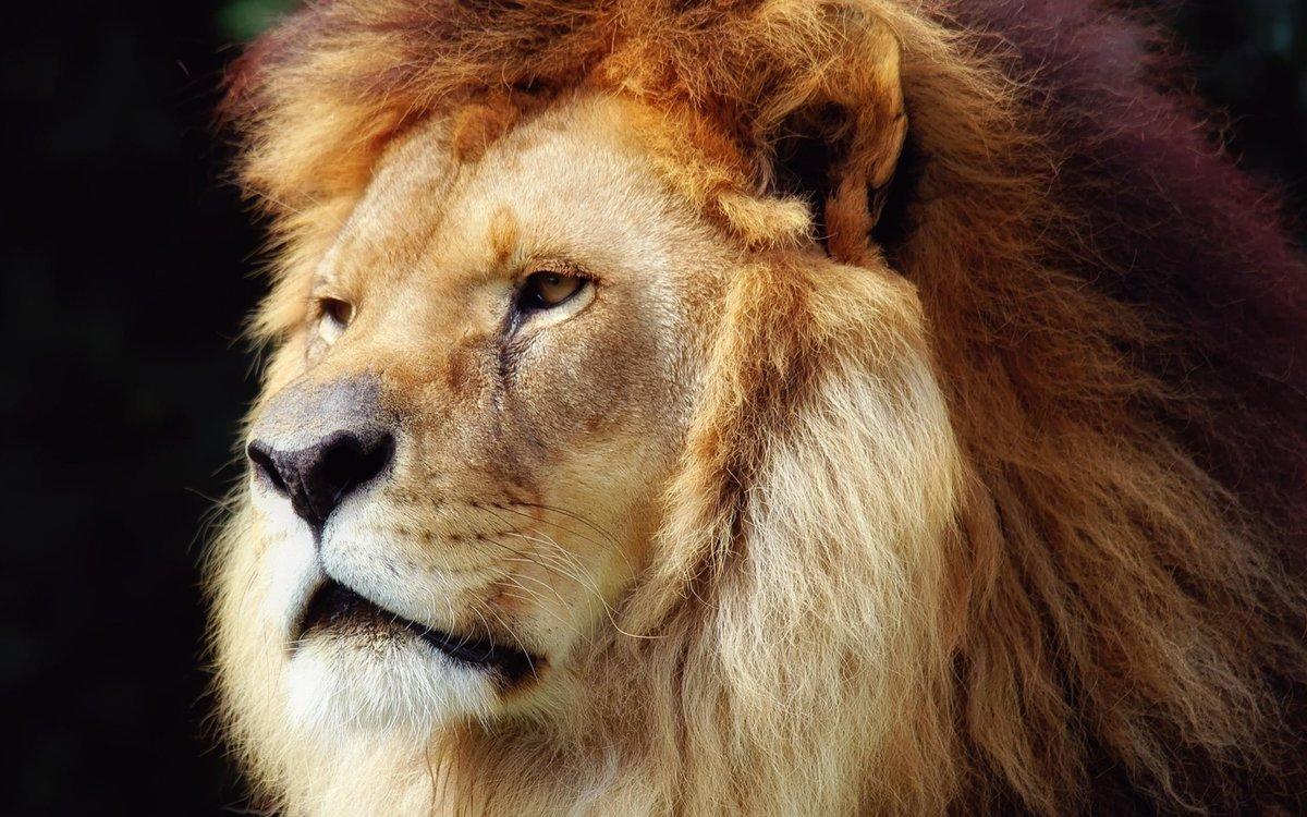Классные картинки львов