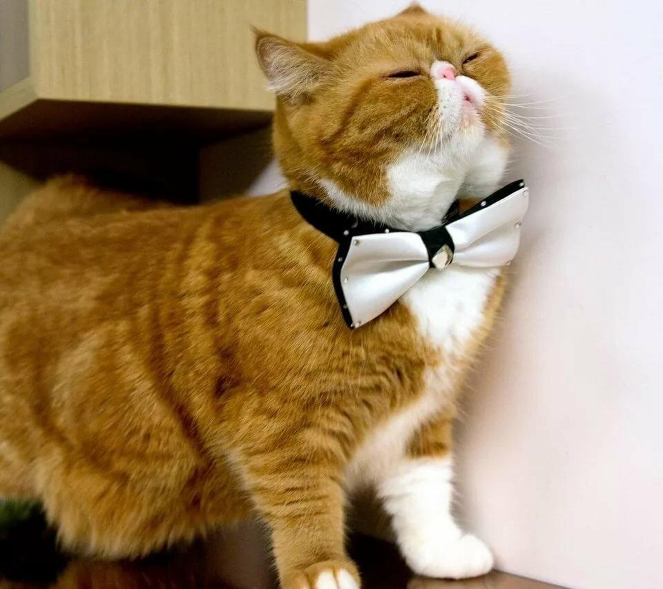 Скачать обои кот, кошка, бабочка, рыжий, порода разрешение 960x854 #94575