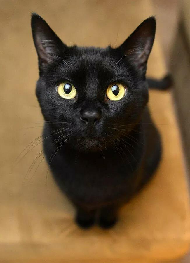 черные коты порода коты поздравляют его