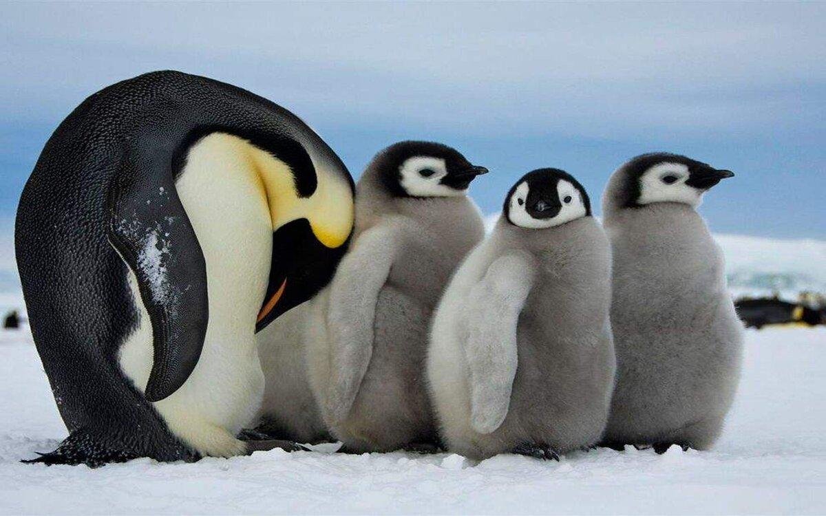 Четкие картинки с пингвинами