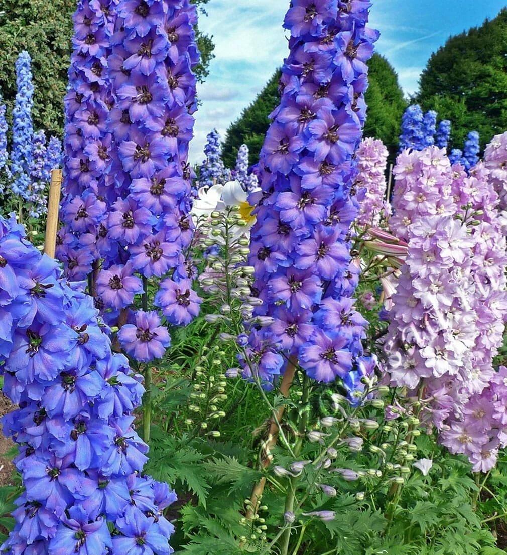 Картинки цветы многолетние садовые цветы