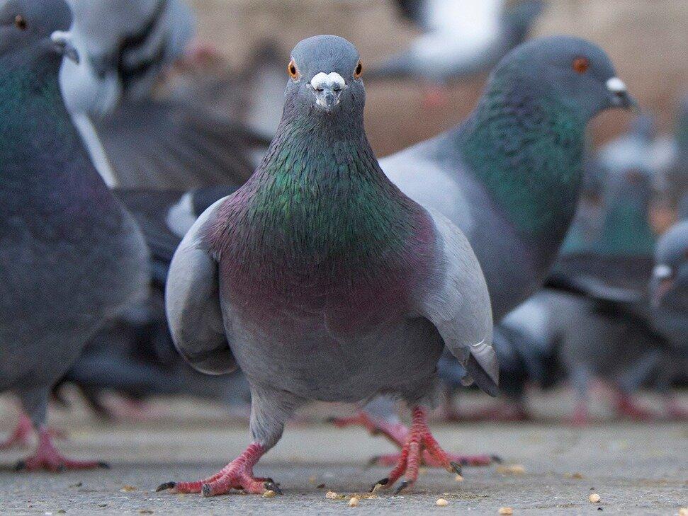 экране вашего голуби разводимые во франции картинки решил