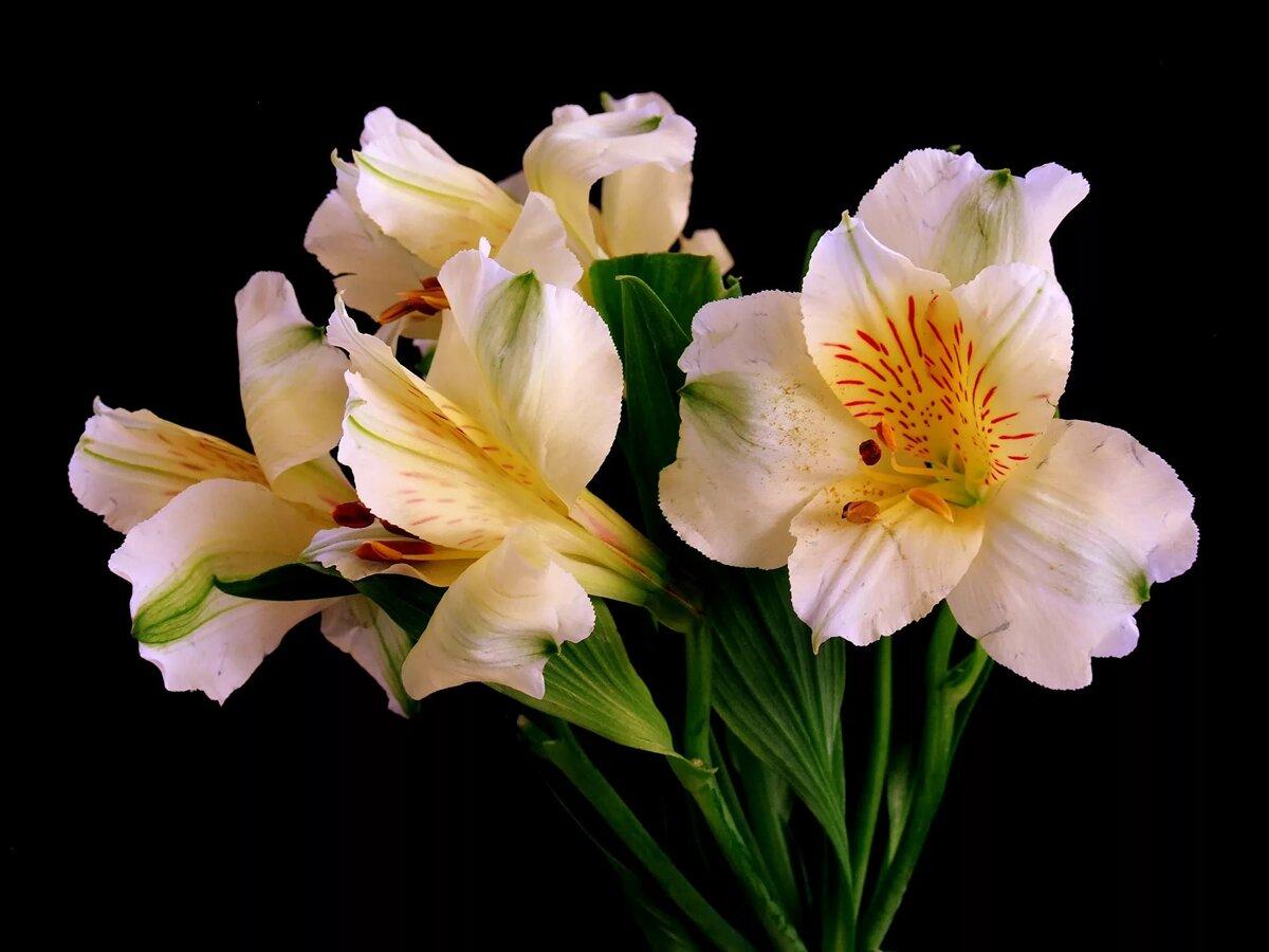 Цветок альстромерия картинки