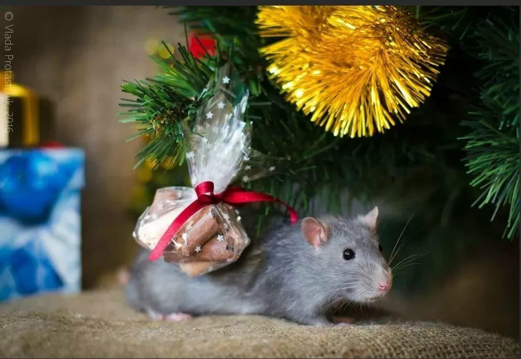 Красивые статусы на Новый год Крысы 2020 Домашняя ферма