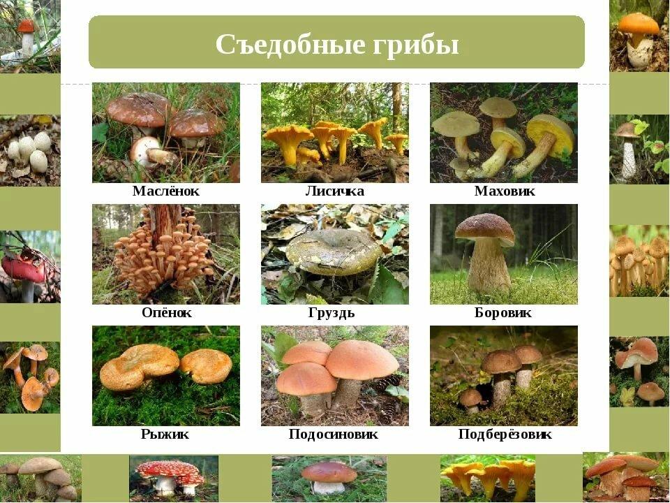 съедобные грибы урала фото с названиями и описанием змею потревожить, она
