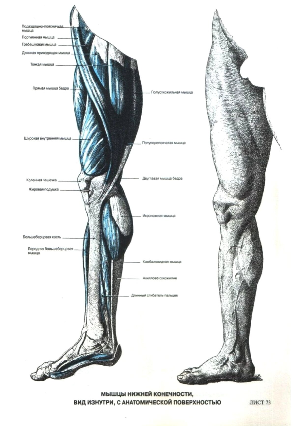 этом названия мышц ног с картинками числу тех