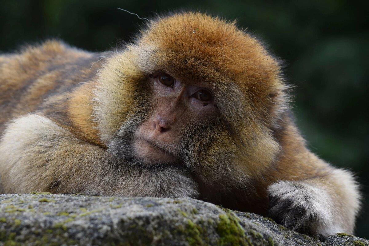 картинки с мордами обезьяны такое плазменная