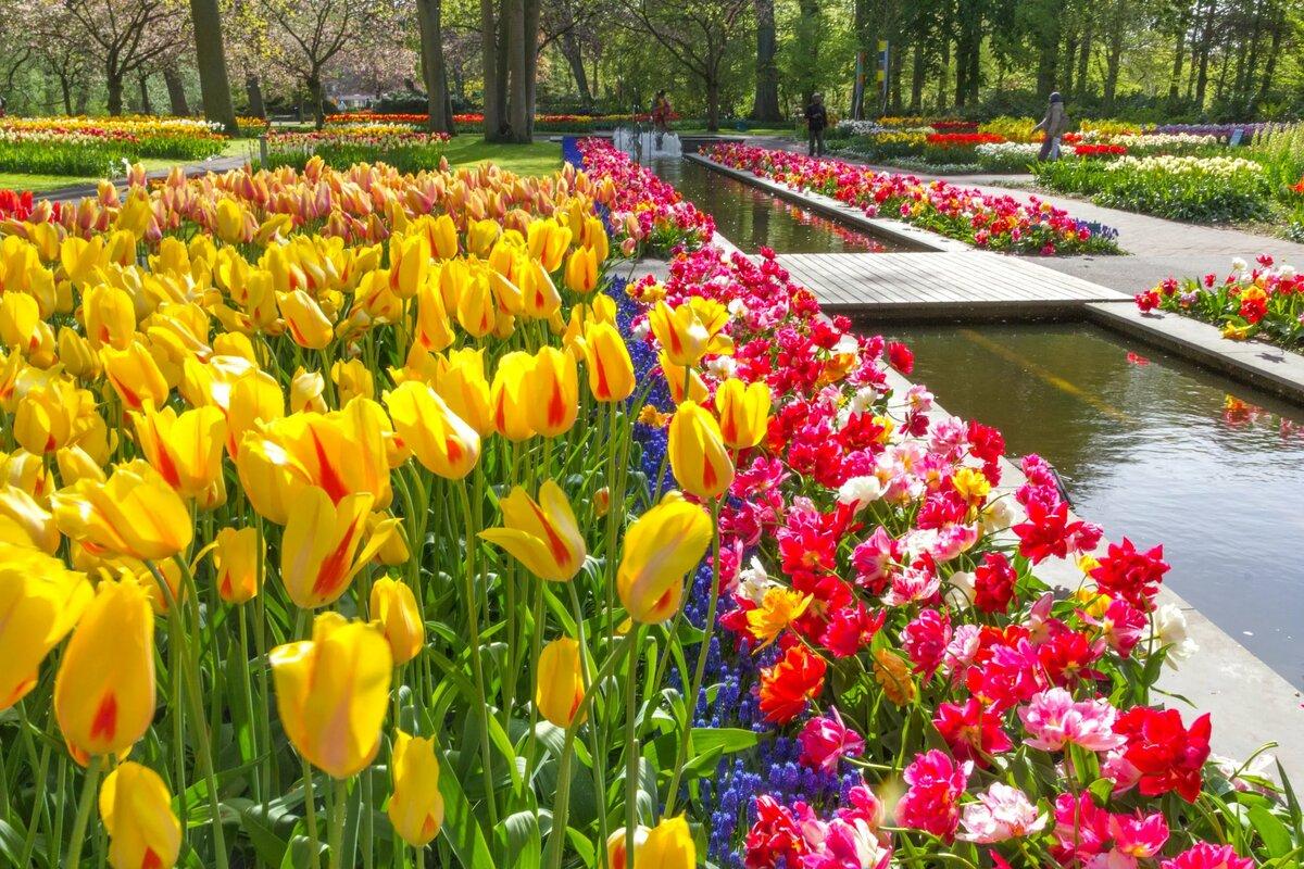 фото голландских тюльпанов был ненавидим многими