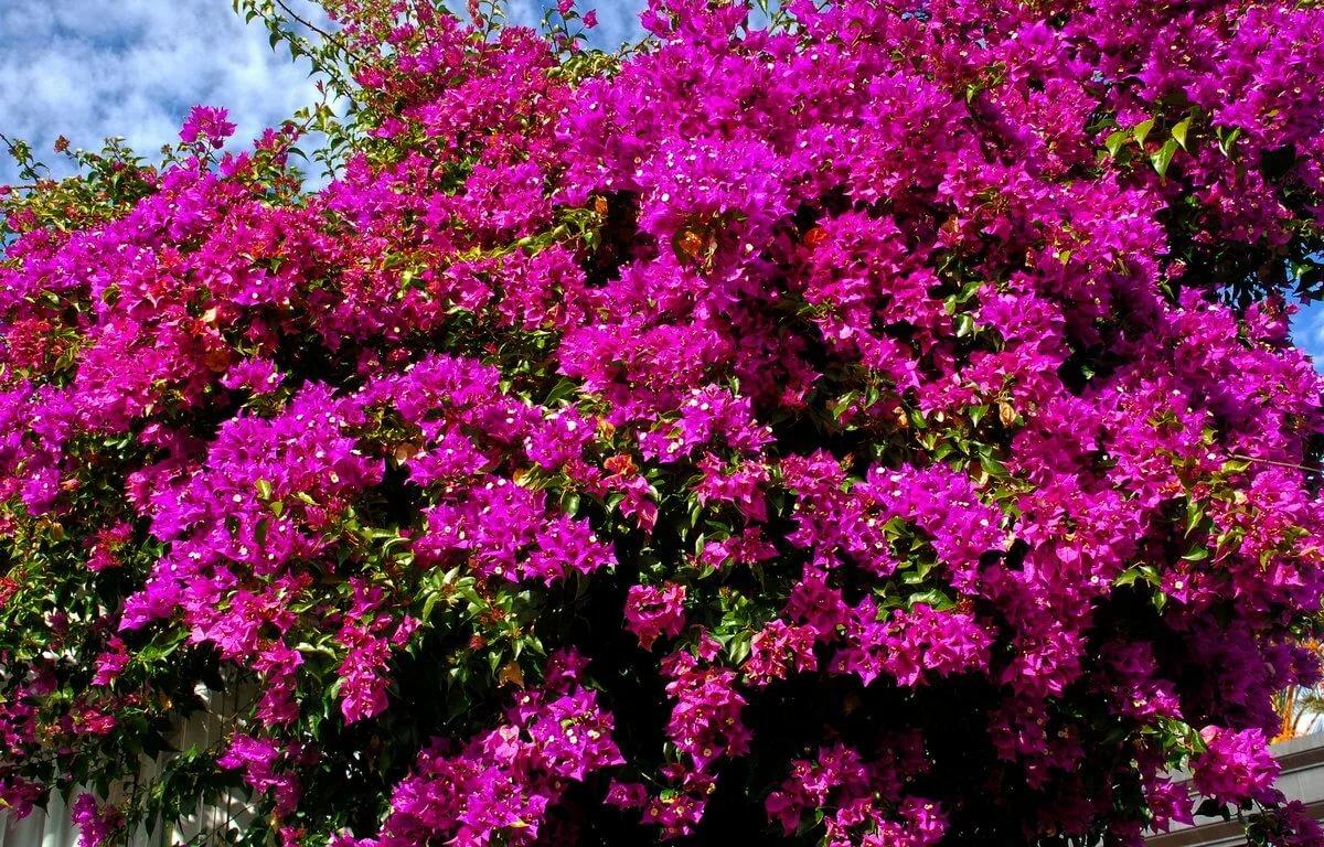 весьма необычный южные кустарники цветущие фото многими завтрак