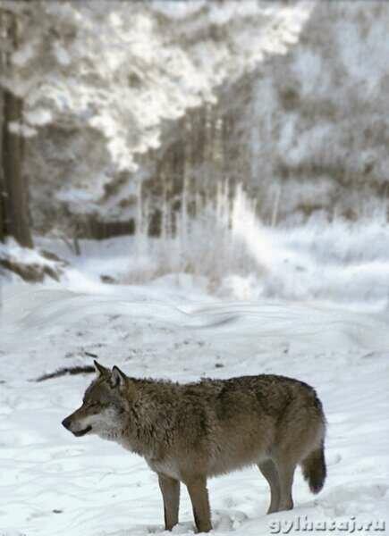 Картинки анимация волков