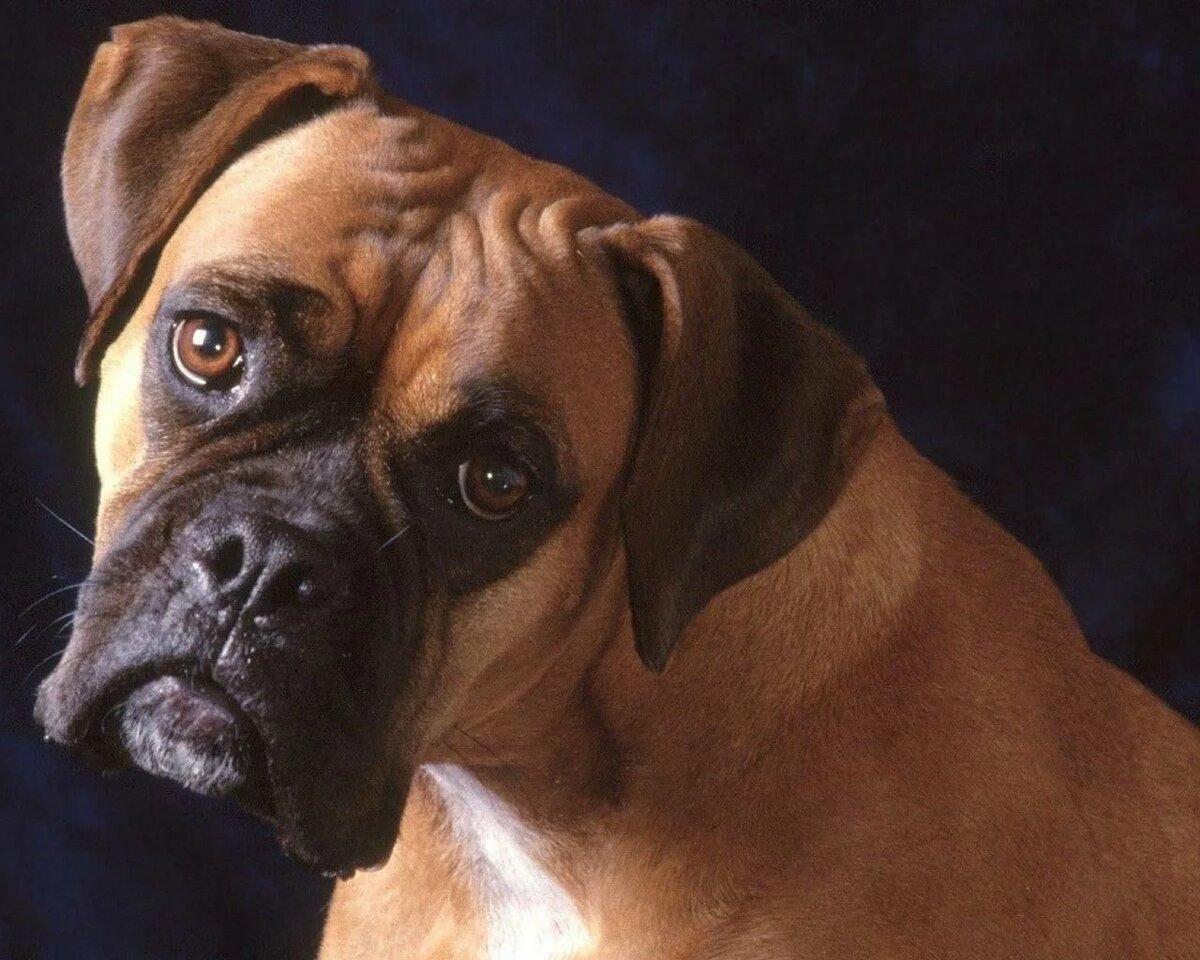 Боксер картинки собаки
