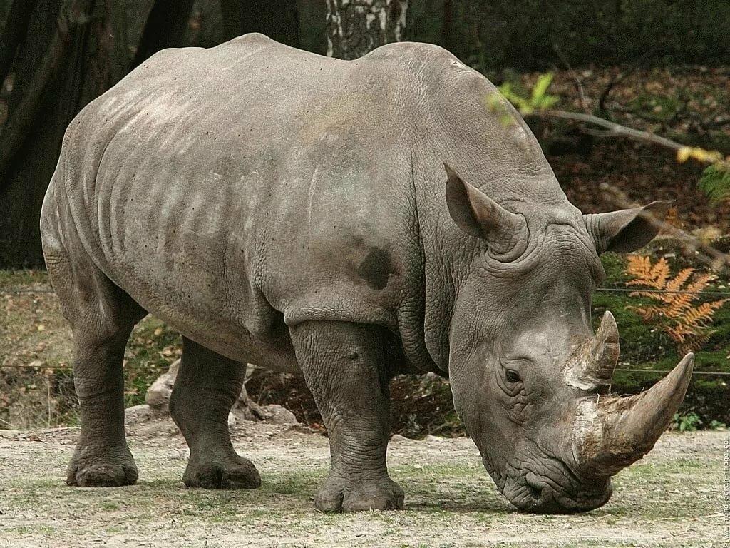 Носорог картинки