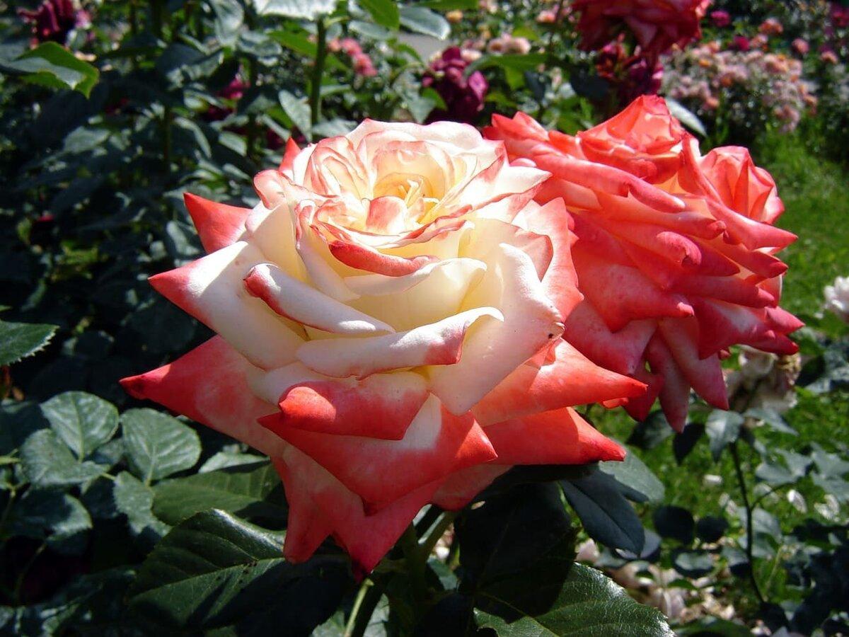 Гибридные королевские розы во Владимире