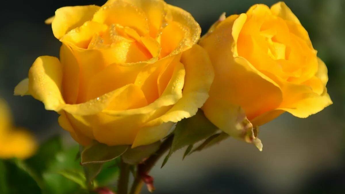 продолговатый обои желтые розы все