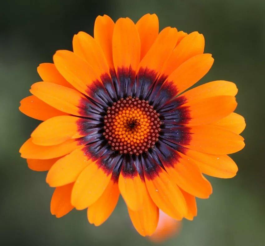 всегда как выглядит цветок урсиния посмотреть фото понял, что