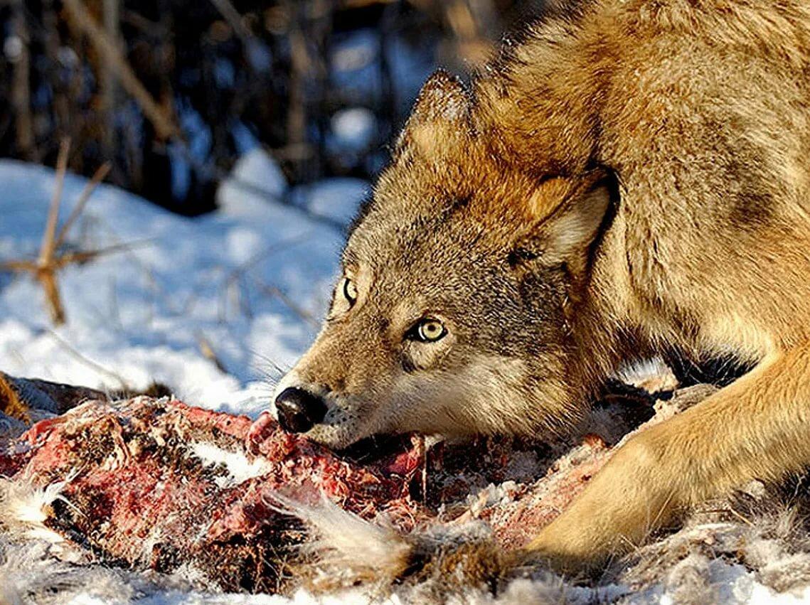 Волк кушает картинки для детей