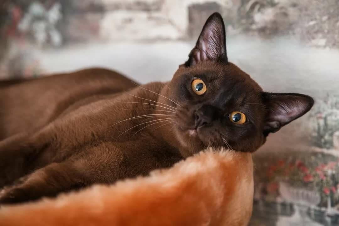 картинки шоколадные кошки уход