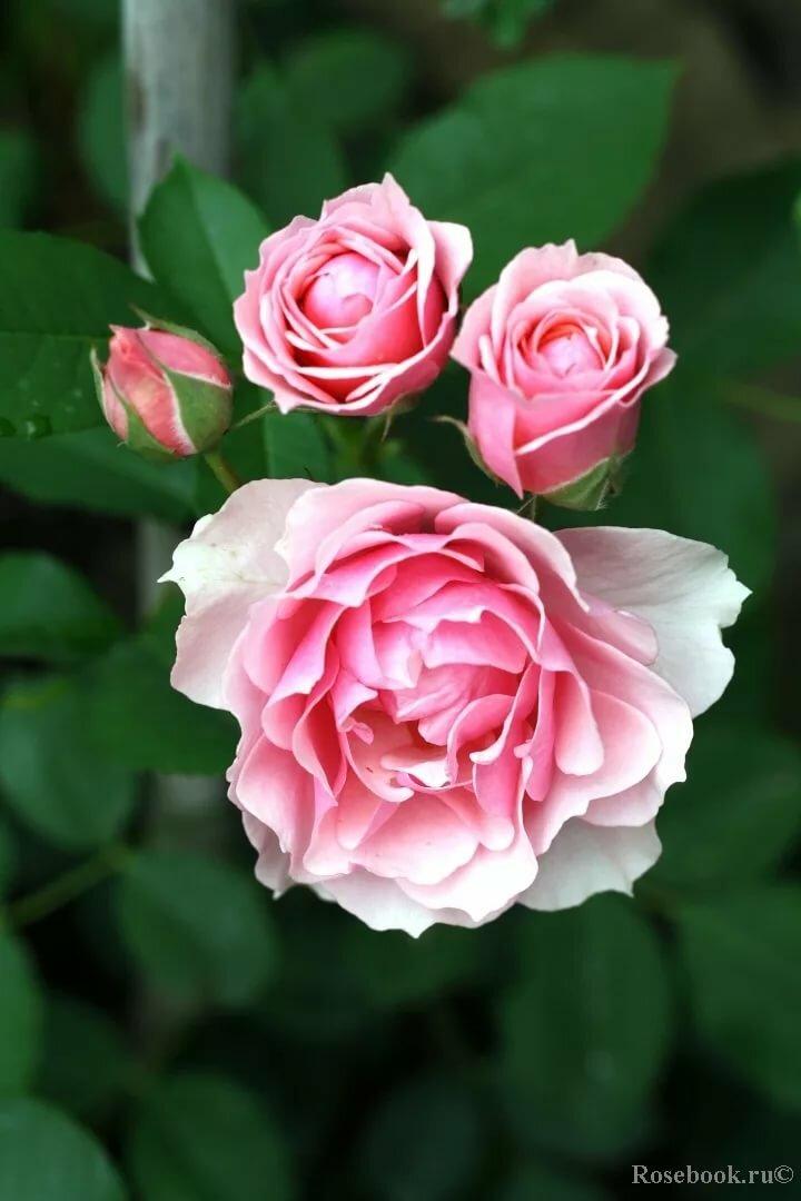 Розы красные фото цветов букет задекорированы под