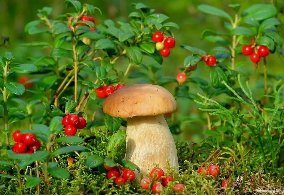 Картинки ягод грибов