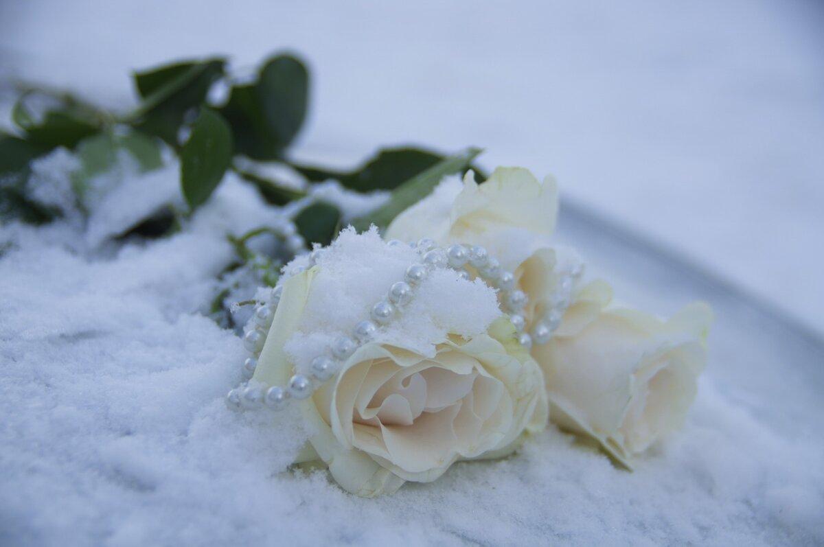 розовые розы на снегу фото они