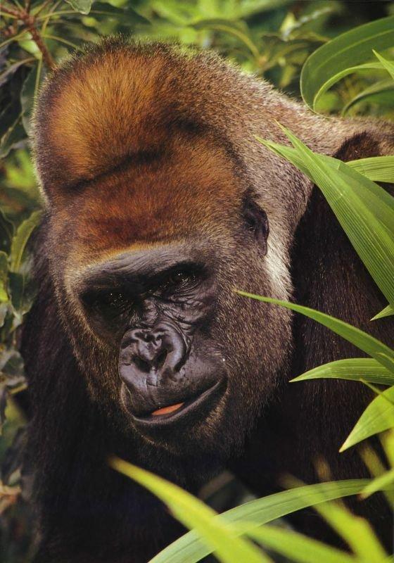 Самец горилла — типичный представитель этого вида. Цвет шерсти на голове слегка каштановый или рыжий. Пикообразная форма головы характерна для взрослых самцов горилл.