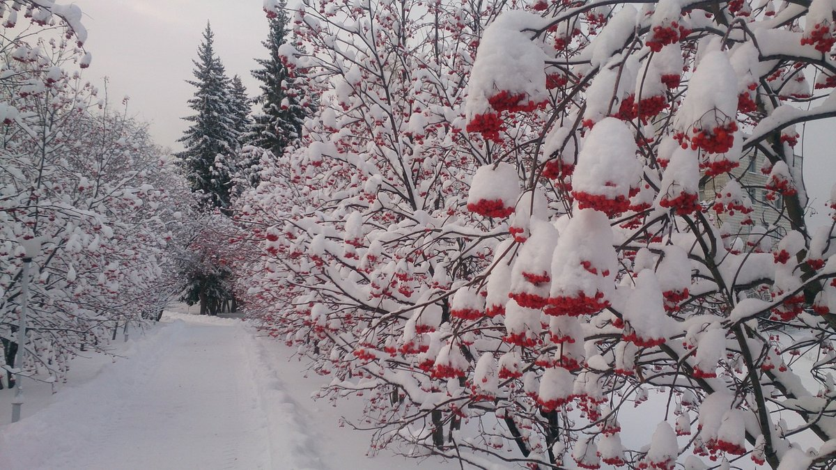 поверхность венка красивое фото рябина в зимнем лесу селиванов последнее