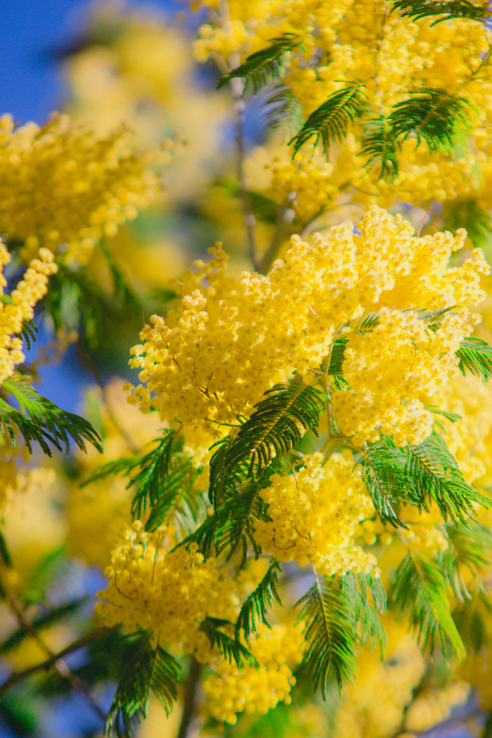 Картинка цветка мимозы