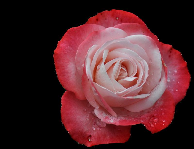 потом цветы розы картинки на прозрачном фоне картинок фланелегра рассказывание