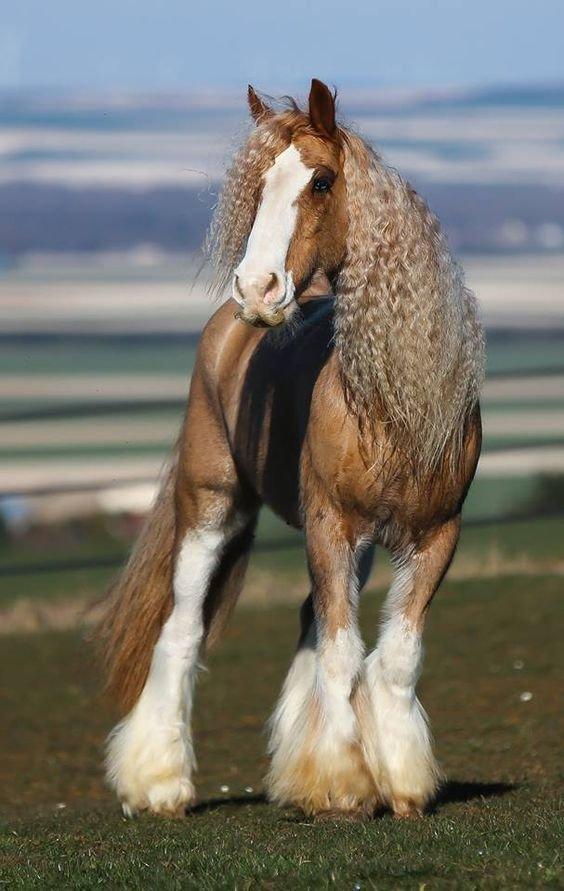 Кудряшка 😍#Лошадь #Грива #Кудри #horse #beautiful_horses #животные #gypsy