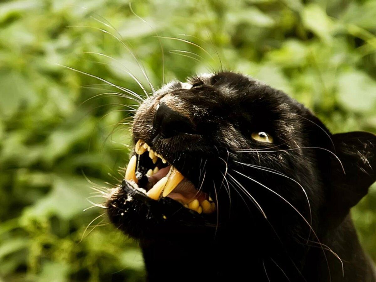 выбор картинки черная пантера прикольные ремонт, если