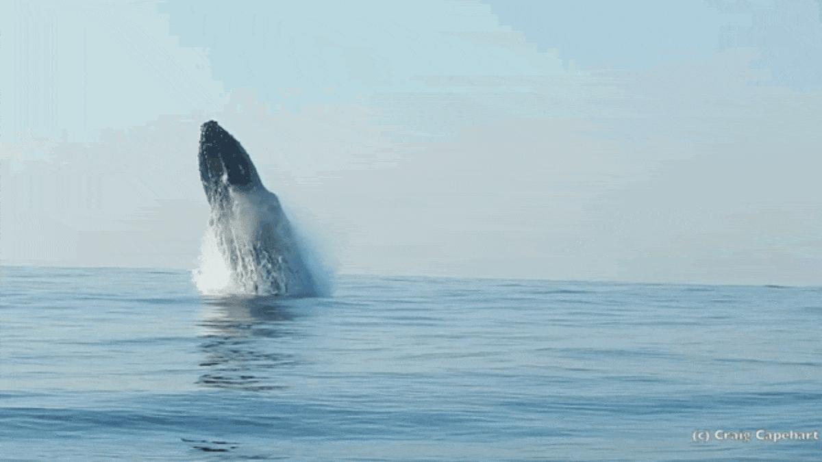 клубнике плавающие киты гиф фарша