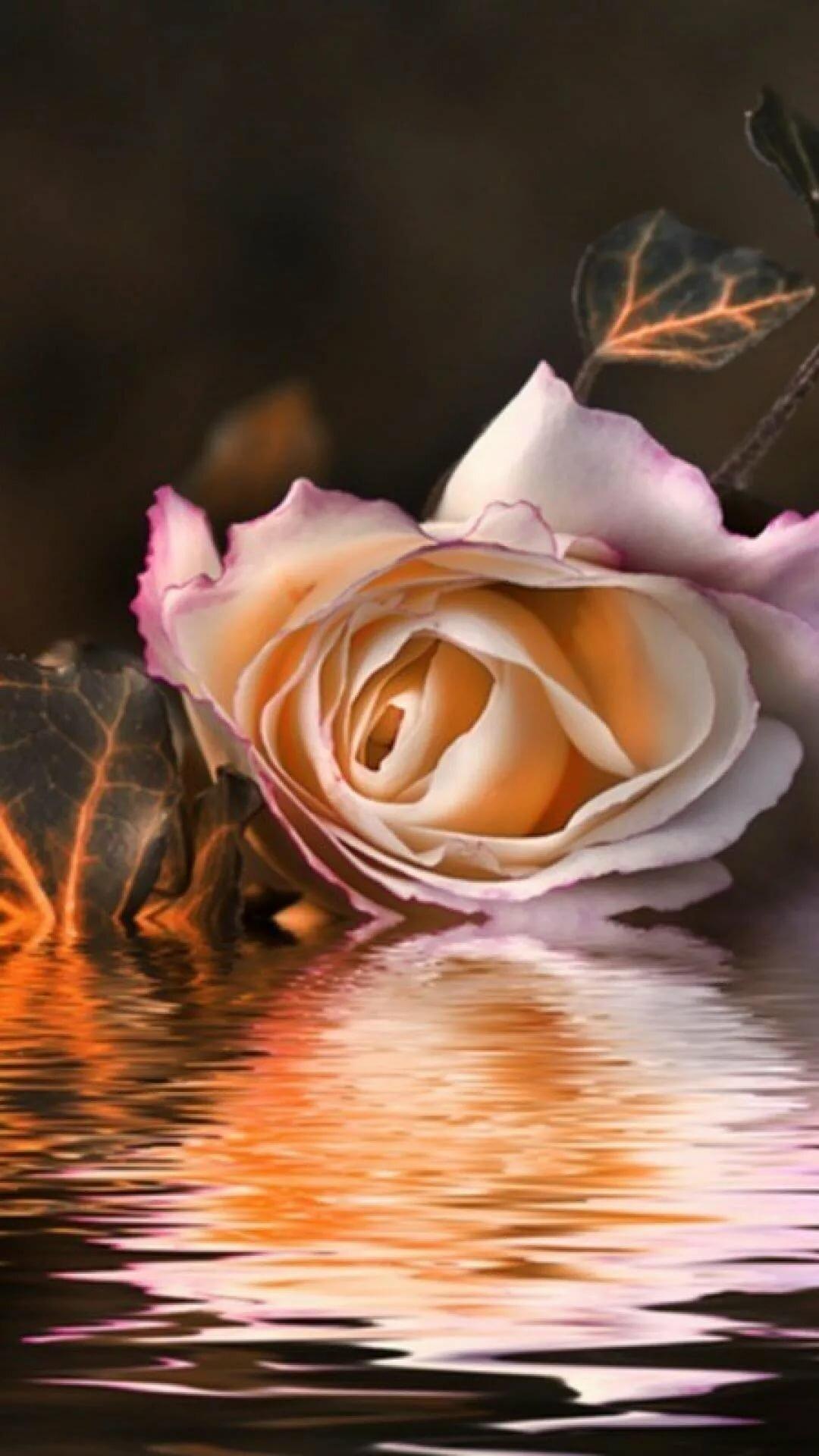 Роза на воде картинка