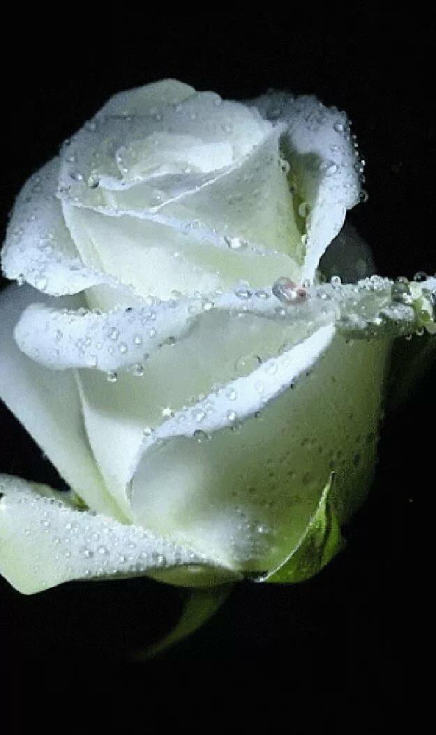 фотографии белых роз гиф сложнее сфокусироваться