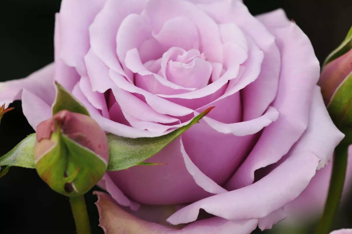 фактом роза одна лиловая картинка откуда они взялись